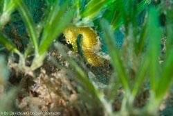 BD-121128-Aqaba-7431-Hippocampus-kuda.-Bleeker.-1852-[Spotted-seahorse.-Gul-sjöhäst].jpg